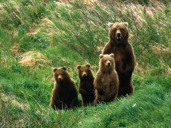 В лесах Ленобласти развелось много медведей